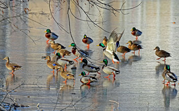 Mallards on the Ice - image #295595 gratis