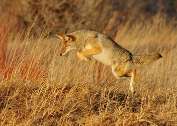 Leaping Coyote Seedskadee NWR - бесплатный image #295755