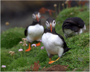 Puffins - Free image #296215