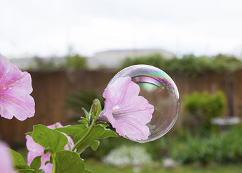 Closeup of large bubble in center of pink petunia - image gratuit #296735
