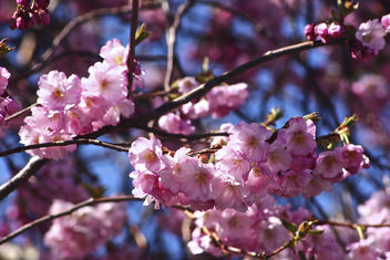 Spring blossom - Kostenloses image #296935