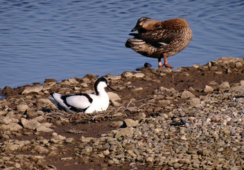Avocet nesting infront of one of the hide at Marshside RSPB, Southport. - Free image #297225