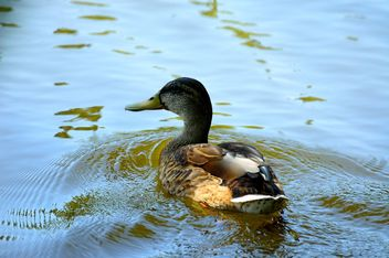 Duck floats in pond - Free image #297555