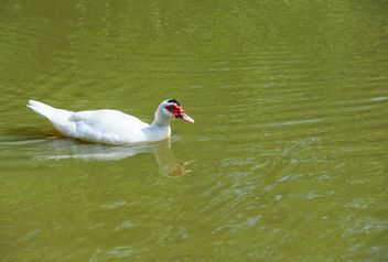 Muscovy duck - Free image #297565