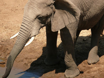 Elephant down for a drink ! - Free image #298355