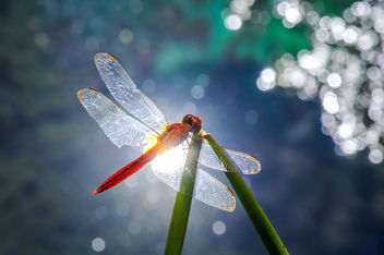 Red Dragonfly - image #298615 gratis