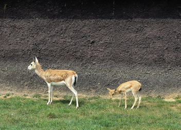 Turkey (Polonezkoy Zoo) Baby deer waching us - Free image #299205