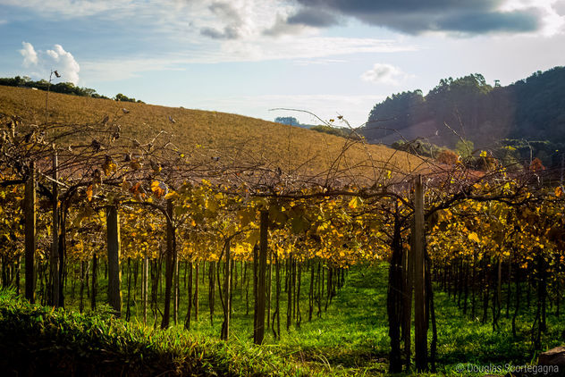 Vineyards from Brazil - Free image #299335