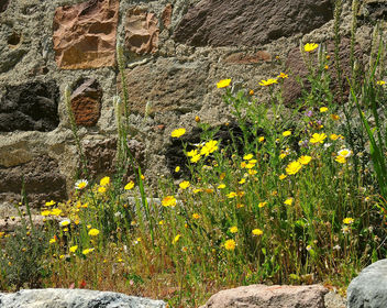 Greece (Lesvos Island)-Yellow rocky flowers - Free image #299435