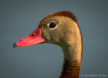 Black-bellied Whistling Duck - Kostenloses image #299445