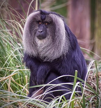 Lion tailed Macaque - image #299665 gratis