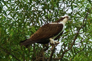 BANDED OSPREY in a Tree - бесплатный image #299675