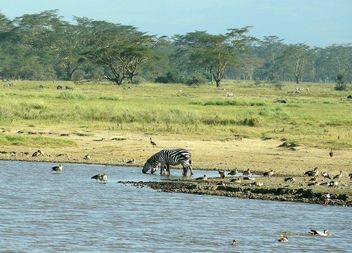 Kenya (Nakuru National Park) Zebras and birds at water hole - Kostenloses image #300235