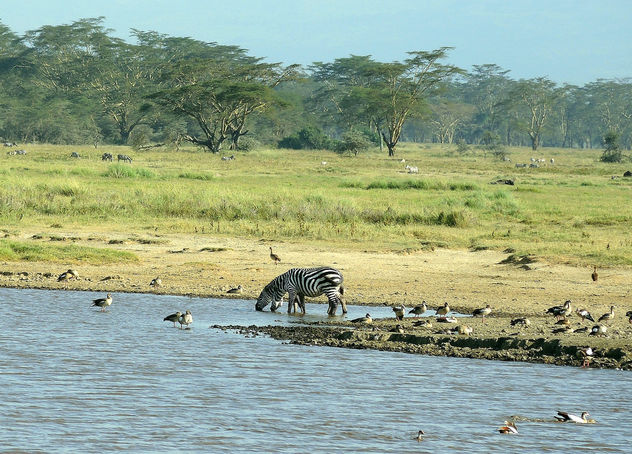 Kenya (Nakuru National Park) Zebras and birds at water hole - Free image #300235