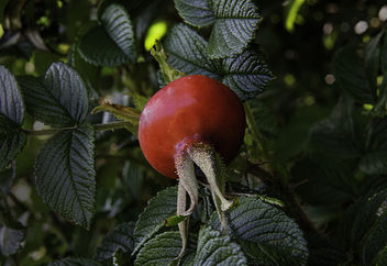 RoseHip on the dunes - Free image #300865