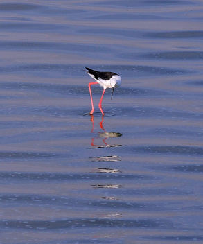 Tanzania (Serengeti National Park) Black-Winged Stilt and its waving reflection - Free image #300875
