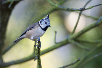 Kuifmees / Lophophanes cristatus / Crested Tit - Free image #301335