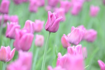 Pink tulip field - Free image #301375