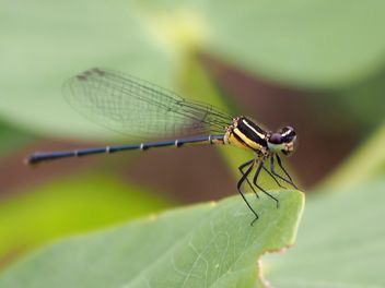 Dragonfly with beautifull wings - image gratuit #301735
