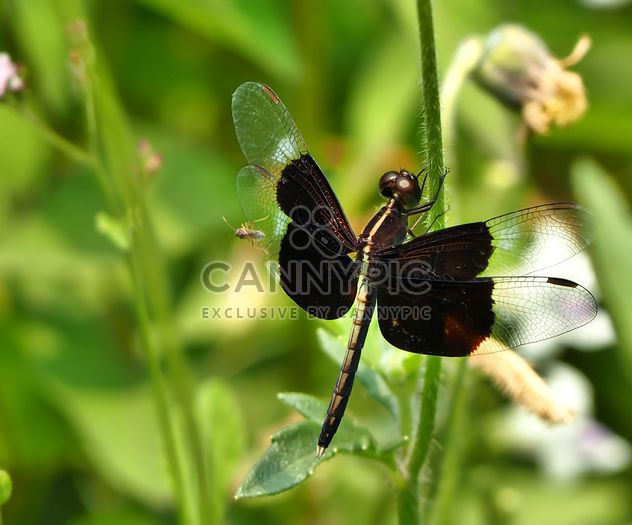 Dragonfly with beautifull wings - Kostenloses image #301745