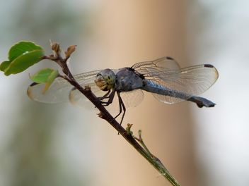 Dragonfly close up - image #301755 gratis