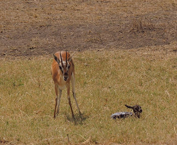 Tanzania (Serengeti National Park) Thomson's gazella and her new born baby still partially covered with placenta - image #301905 gratis