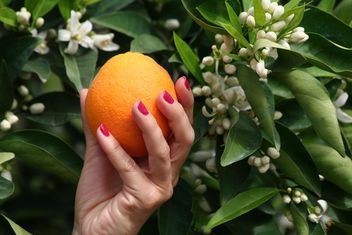Picking Orange from a tree - image gratuit #301955
