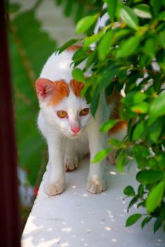 Orange and white cat - image gratuit #302345