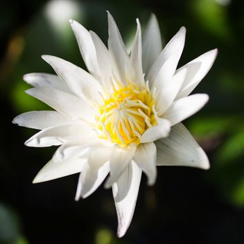 White lotus water lily - бесплатный image #304455