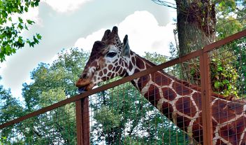 Giraffe behind the grid - image #304505 gratis
