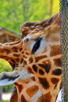 Giraffe eye close up - image #304515 gratis