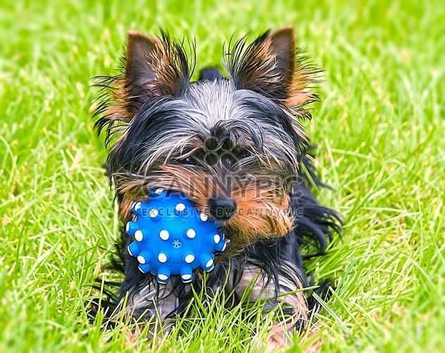 Cute Yorkshire Terrier Dog laying in the yard - Free image #304755