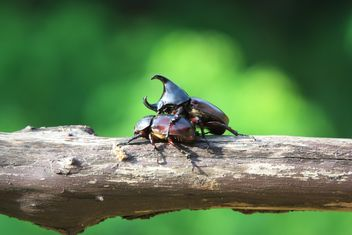 Rhinoceros beetles on log - бесплатный image #304785