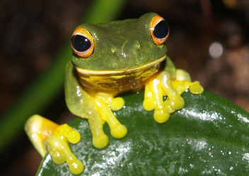 orange eyed green tree frog - image #305965 gratis