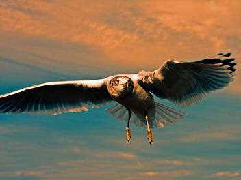 Gull of Sunset - image gratuit #306055