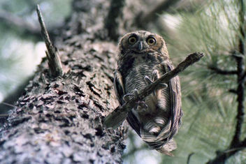 Great Horned Owl on Pine Tree (1980) - image gratuit #306185
