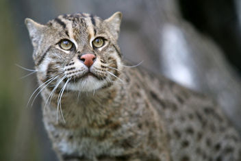 Fishing Cat (Prionailurus viverrinus) - image #306205 gratis