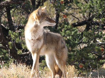 Coyote - Free image #306325