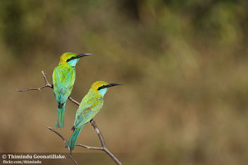 Green Bee-eater - Free image #306385