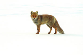 Fox in the snow - image #306455 gratis