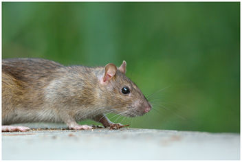 Rat surmulot / Brown Rat - image #306645 gratis