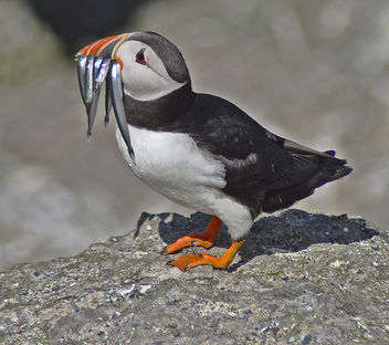 Puffin with his catch. - image gratuit #306695