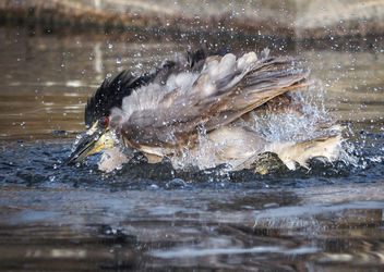 Night Heron Bath - image gratuit #306745