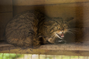 Scottish Wildcat - Felis Grampia - image #306765 gratis