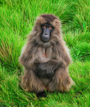 Gelada Baboon Posing, Simien Mtns - Kostenloses image #306785