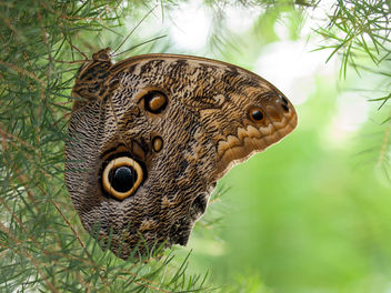 Owl Butterfly - image #306935 gratis