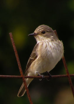 Spotted Flycatcher - Free image #306985