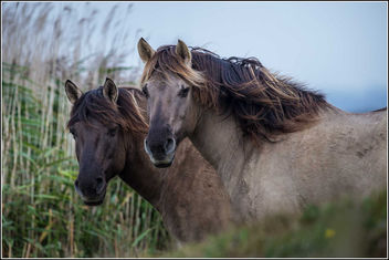 Konik Ponies at Oare Marsh Nature Reserve. - бесплатный image #306995