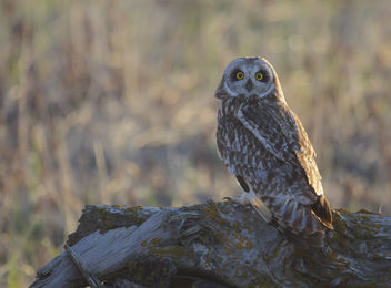 Short-eared Owl (Asio flammeus) - бесплатный image #307075