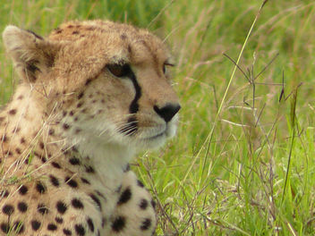 Cheetah resting in the Mara ! - image #307175 gratis